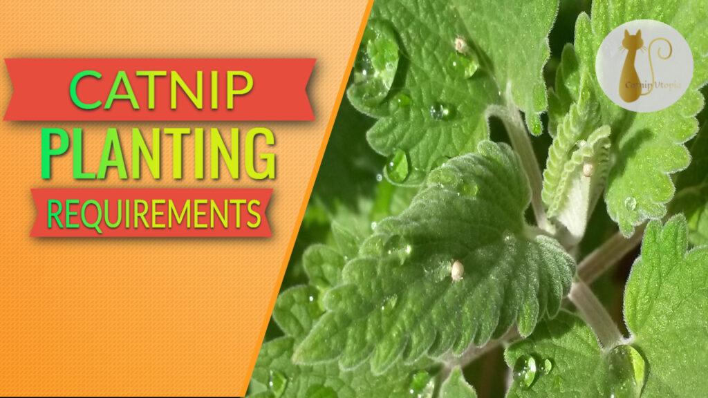 catnip planting requirements
