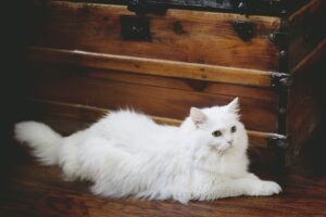 long haired white cat-